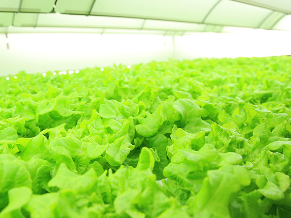 Product Lettuce